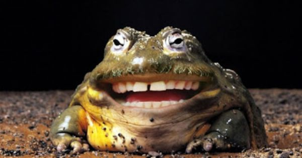 funny-bullfrog